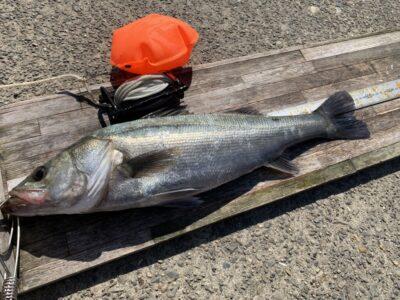 <p>西川様 沖の北 エビ撒きで56.5cmのハネ追加!!合計6本ですね!素晴らしい釣果!!</p>
