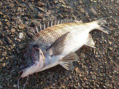 <p>川原様 旧一文字赤灯 エビ撒き釣りで40cmくらいのチヌ!小チヌも2匹釣れてました。沖も旧もワカメがけっこう生えてるんですが、その下にけっこう魚がいるみたいです。落とし込みでもいけそうな感じです。ただパイプもイガイもまだないので餌に困りますね。</p>