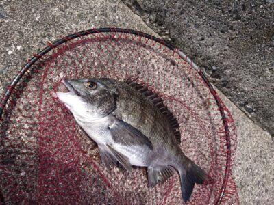<p>スタッフ山本 沖の北 落とし込み(パイプ)で44cmまでを2枚!!同行者も45cmの腹パンチヌをGETされてました!11時〜13時までの釣果です♪</p>