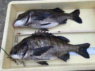 <p>竹中様 沖の北 落とし込み(パイプ)でチヌ43.5cmまでを2枚キープ!!小さいチヌも良く釣れたみたいです♪</p>