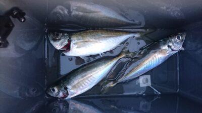 <p>田所様 沖の北 投げサビキ アジGET</p><p>サビキでらくちん釣果にはまだ早いようです</p>