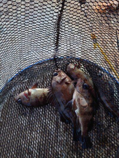 <p>沖の北 エビ撒き釣りでメバル!朝一暗い時だけ釣れたようです。</p>