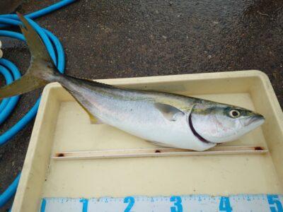 <p>沖の北 ショアジギでメジロ!今月はルアー釣果でルアーケースプレゼントしてます♪</p>
