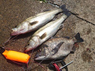 <p>前田様 沖の北 エビ撒き釣りでハネたチヌ!朝一中アジも来たようですが単発…。アジどこいったんや…。</p>