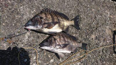 <p>マックススタッフ山中君 旧一文字カーブ フカセ釣りで4ヒット、2バラシ!最近カーブでのフカセ釣りは割と安定してますね。</p>