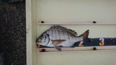 <p>K様 沖の北 紀州釣り チヌGET</p><p>可愛らしいサイズも釣れてます(^^♪</p>