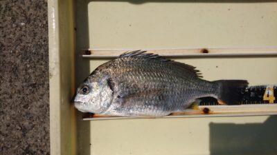 <p>井上様 旧一文字赤灯 紀州釣り キビレGET</p><p>今日は大雨のせいで水がかなり濁っていました</p>