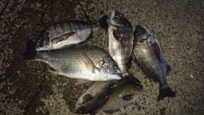 <p>佐多様 沖の北 フカセ チヌとキビレとグレGET</p><p>オイルフェンス付近は安定の釣果が出ています(^^♪</p>