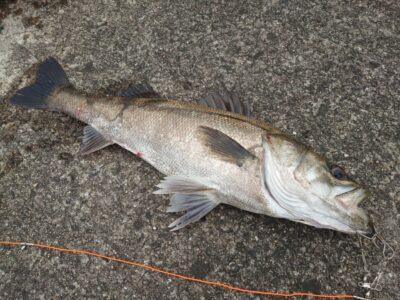<p>山本様 沖の北外向き フカセ釣りでハネ75cm!またまたフカセでハネ♪底で餌を拾ってるんだと思います。</p>