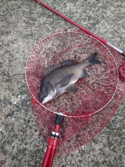 <p>沖の北 落し込み(イガイ)でチヌ!朝の釣果です。あたりは少なかったみたい。</p>