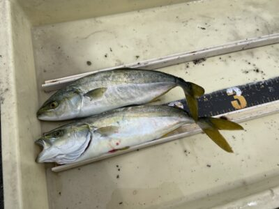 <p>松本様 沖の北 のませ釣り(豆サバ)でツバス!!サバでのませをされる方はこまめに餌を変えてくださいね^ ^</p>