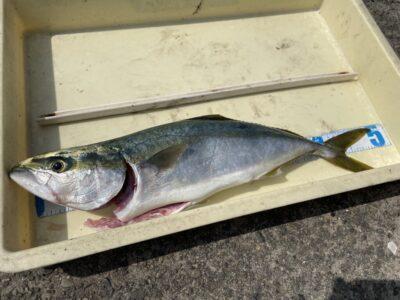 <p>沖の北 のませ釣りで50cmのハマチ!!餌は小鯖との事でした♪</p>