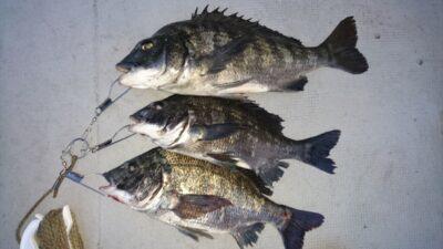 <p>熊取の田中様 沖の北 落とし込み チヌ~45cmまで3尾GET!午後の釣果です。</p><p>小型が多い中やりましたね(^^♪</p>