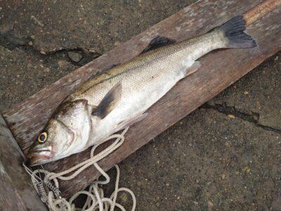 <p>三谷様 中波止2番 エビ撒き釣りで65.4cmのハネ!ハネチヌダービー今月の暫定3位です♪</p>