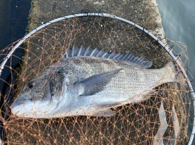 <p>釣れない猫様 沖の北 ルアータックルでの落し込み (イガイのワーム)でチヌ7枚!全部45cm以上。落し込み好調キープです♪沖はタコ釣りの人が少ないのでわりと空いてます。</p>