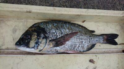 <p>石井様 沖の北 フカセ チヌGET!餌取り(サバ)がかなり多いのでコーンは必須です。コーンでも辛いかも。</p>