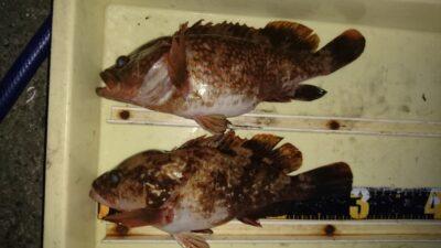 <p>吉村様 旧一文字赤灯 エビ撒き アコウGET</p><p>今年は小型が目立ちますが、その内大物釣れそうです(^^♪</p>