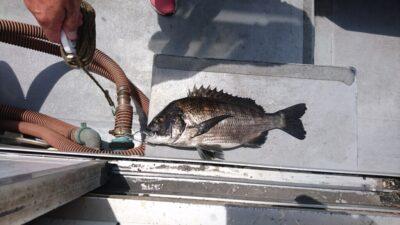 <p>熊取の田中様 沖の北 落とし込み チヌGET</p><p>チヌの釣果は安定していますがタコは・・・</p>