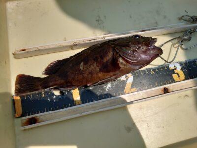 <p>島野様 旧一文字赤灯 エビ撒き釣りで26cmのガシラ!昨日根魚は沢山釣れてたんですが、今日はあたりも極端に少なかったみたいです。旧も苦潮がまわってきた感じです。底でタコもあまり釣れてなかったですし…。ただ、ガッチョやカレイが浮いてくるほどではないので中途半端な苦潮ですね。苦潮がきつくなればタコもケーソン継ぎ目でましになってくると思います。ケーソン継ぎ目と底、両方狙えるように準備しておきましょう!</p>