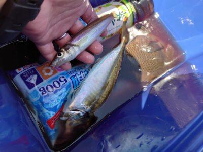 <p>釣れない猫様 沖の北 ウキ釣り(虫エサ)でグレと中アジ!今日はグレの活性が低かったようです。キスはなぜかジグにヒット♪</p>