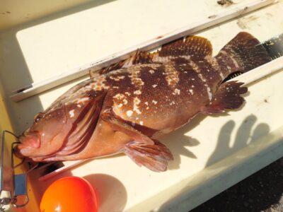 <p>中村様 沖の北外向き エビ撒き釣りでアコウ43.5cm!根魚は元気なようなのでまだ苦潮ではなさそう。</p>
