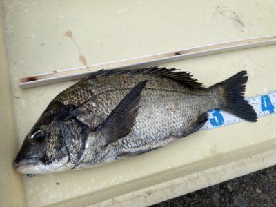 <p>沖の北 フカセ釣りで38cmのチヌ!!挿し餌はV9オキアミでグレも良く釣れたとの事でした♪♪サバはまだ多いみたいです(ToT)</p>