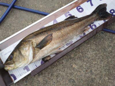 <p>川原様 旧一文字赤灯外向き エビ撒き釣りでスズキ80cm!!!久しぶりのスズキです♪魚を食べてるやつですね。もう少しすれば50cmくらいのハネが釣れだすと思います。</p>