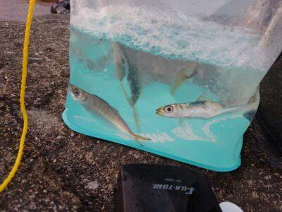 <p>沖の北 内向き サビキ釣りで小アジ、ウルメイワシ、サバが釣れていました!のませの餌は確保できてる感じ。ウルメイワシでのませサビキもオススメですよ。</p>