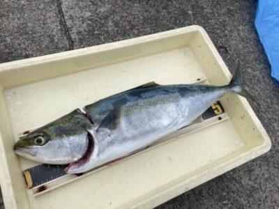 <p>芝猫様 沖の北 のませ釣りでハマチ〜メジロ GET!!</p>